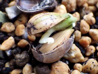 leuchotrichophora07.jpg