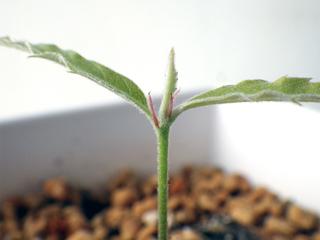 leuchotrichophora11.jpg
