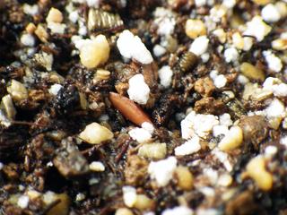 pachypodium_rosulatum_gracilius02.jpg