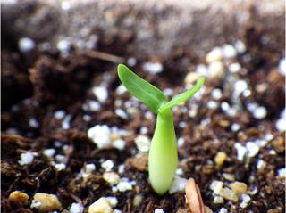 pachypodium_rosulatum_gracilius06.jpg